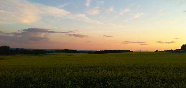 Rapeseed crop in the sunset