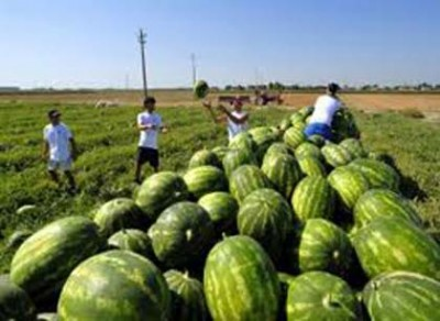 Crops of watermelon in Southern Italy